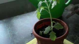 Как пересаживать помидоры рассаду. Помидоры рассада пикировка.