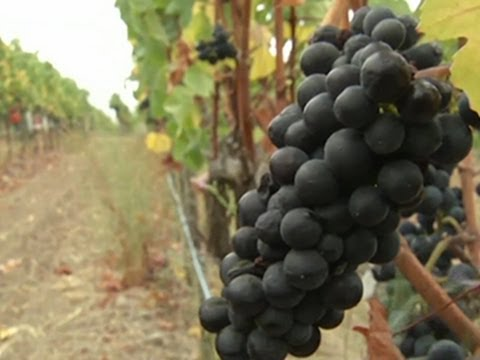 Napa Wine Harvest Underway After Quake