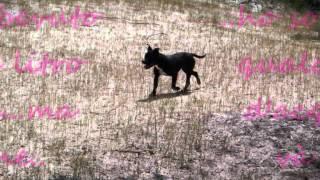 Staffordshire Bull Terrier Black Dalia.wmv