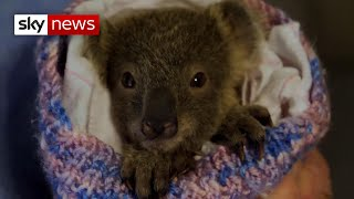 Hundreds of koalas killed in Australia wildfires