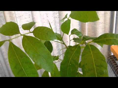 How to grow lychee from seeds updates part 3