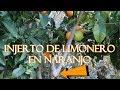 🍊🍋 Mi Injerto de Limonero en Naranjo 🍊     Resultado    Cítricos    EN   FR   ES