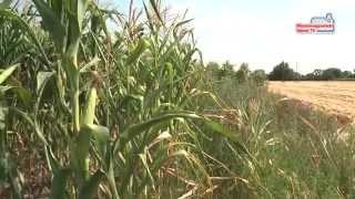 Sok búzát, de kevesebb kukoricát arathatnak idén