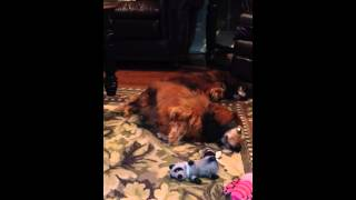 Dachshund Lullaby - Anticipation