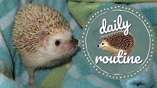 Elderly Hedgehog Daily Routine