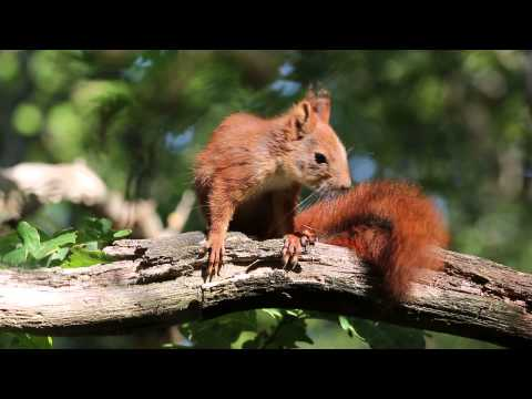 Euroasian red squirrel grooming its tail / Ekorre putsar sin svans