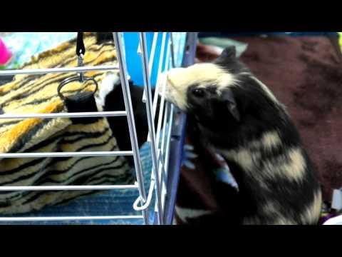 Морские свинки - Видео про морских свинок - Содержание