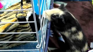 Квест поймай Жорика Грустная морская Свинка Машинки Хот Вилс  Детское  смешное видео про Животных