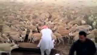 تربية قطيع غزلان في مزرعه # هاي كيكرز
