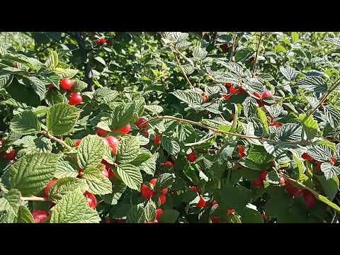 Войлочная вишня после сбора урожая. Обработка. Подкормка.