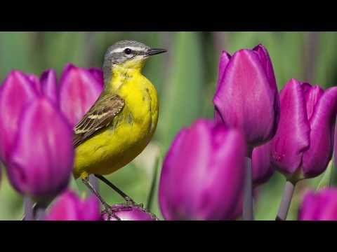 "Peaceful music, Relaxing music, Instrumental Music"" Spring Tulips"" by Tim Janis"