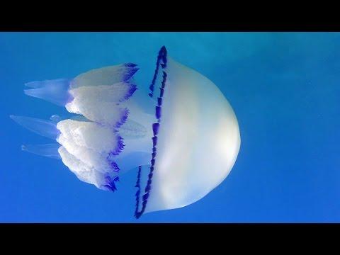 Jellyfish  Meduza Rhizostoma pulmo
