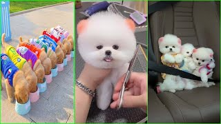 Funny and Cute Dog Pomeranian   Funny Puppy Videos #51