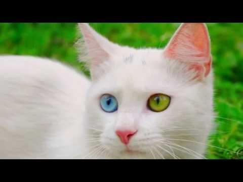 Кошки с разноцветными глазами слайд шоу 2015!