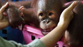 How This School Prepares Orphan Orangutans for the Wild