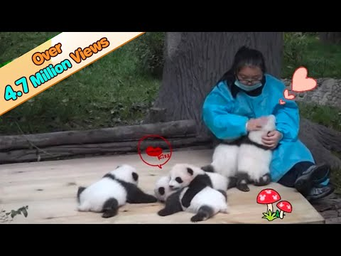 5 panda cubs receiving love from keeper | iPanda