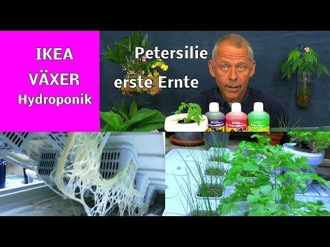 IKEA VÄXER Hydroponik Erste Ernte Der Petersilie Nach 6 Wochen Schnittlauch Passt Nicht Dazu