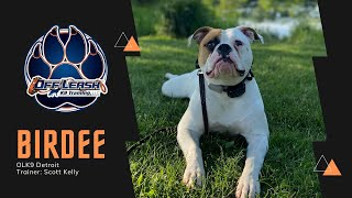 Obedience Training l American Bulldog 'Birdee' l Trainer Scott Kelly