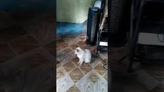 Yuno ragdoll Cat vs Dog funny compilation!!!2019