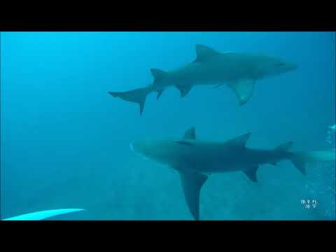 ADI Dives | Lemon Shark with ADI January 2020