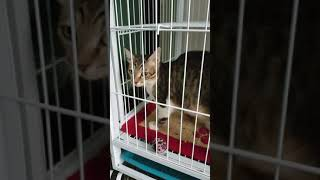Tabby Kitten For Adoption - 4 Months, Xiaomei 小美 from SETIA ALAM, SHAH ALAM, Selangor