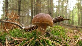 Собираем грибы в Егорьевском лесу Collect mushrooms in Yegoryevsk the woods