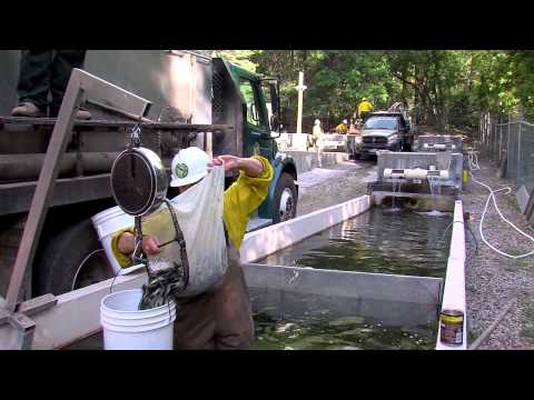 Sterling Springs Hatchery Trout Rescue