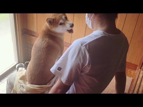 パパが好きすぎて何度も膝の上に戻ってくる柴犬 Dog just wants to sit on her owners lap