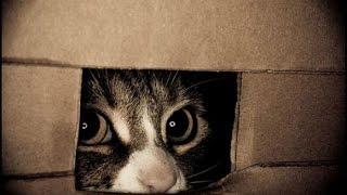Затаившийся тигр!Смешные кошки прячутся!