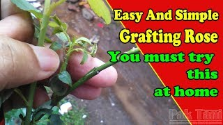 Easy and Simple To Grafting Rose by Grafting Examples