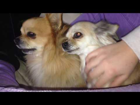Eifersüchtiger Chihuahua