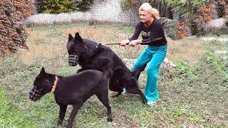 Черные Немецкие Овчарки Вульф и Багира. Щенки Родились! Soon Black German Shepherd Puppies