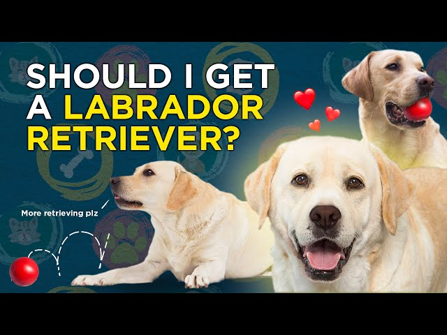 Should I choose a Labrador Retriever