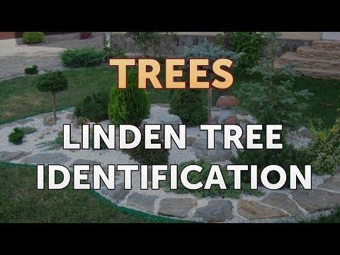 Linden Tree Identification