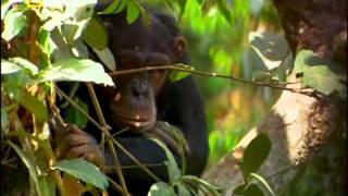 حين يصبح الصياد فريسه (الشمبانزي)