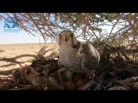 Lanner Falcon attacks Buzzards and usurp their nest