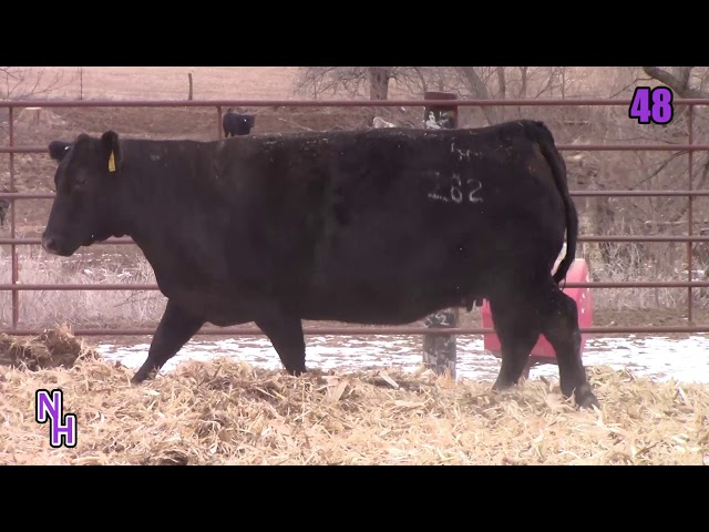 New Haven Angus Lot 48
