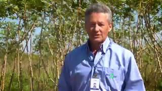 Mandioca como opção importante para Integração Lavoura-Pecuária