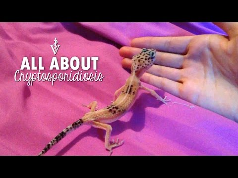 How To Fatten Up A Leopard Gecko Tail Doovi