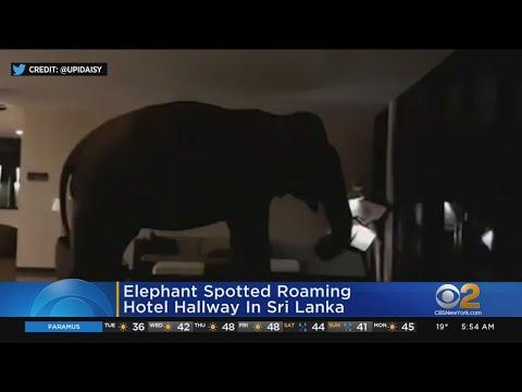 The Mo & Sally Show - Wild Elephant Walks Around Hotel In Sri Lanka