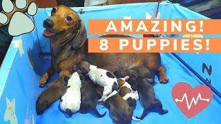 DACHSHUND GIVING BIRTH TO 8 PUPPIES! (Record breaking)
