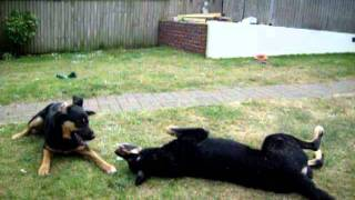 German Shepherd Cross Rottweilers Playing In Garden - May 2011