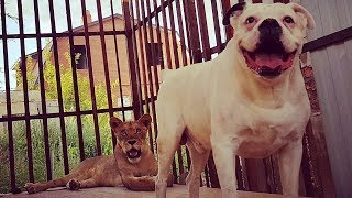 """Егиш Ероян передумал отдавать львицу Майю: """"Это член нашей семьи!"""""""