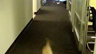 Border Terrier And Lhasa Poo Running At Work