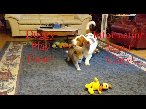 clary-the-collie-puppy-and-basset-hound-at-play-+-clary-playing-with-rope-toy!