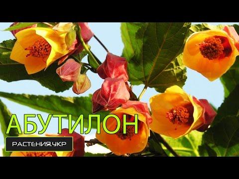 клен клен клен / Как вырастить абутилон из семян ?