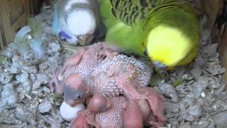 Hungry Baby Budgies