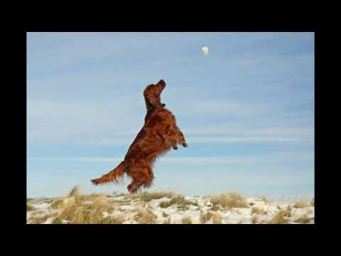 The Most Beautiful Irish Setter red 2016