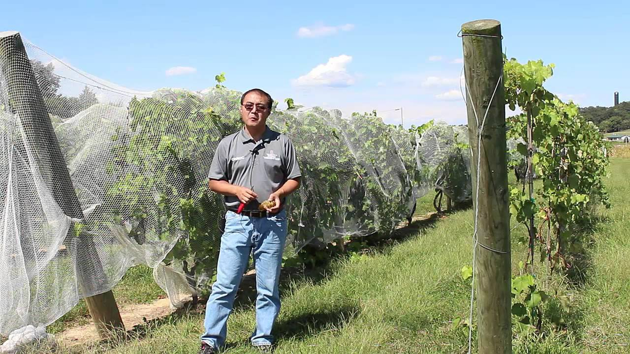 Wine Grapes | South Centers