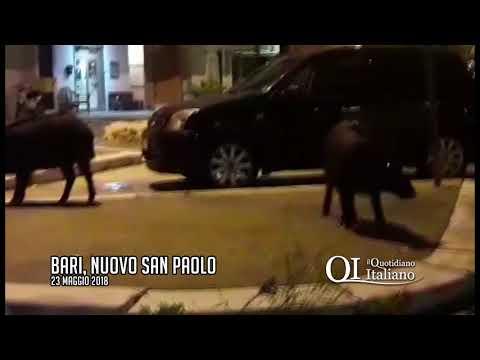 Bari, bloccato in auto dai cinghiali al Nuovo San Paolo